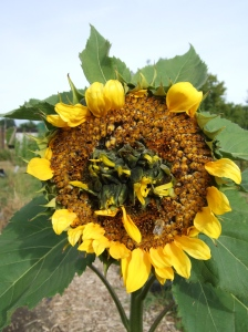 """My Freaky Sunflower"", it has 6 others growing in the middle of the 1 flower."