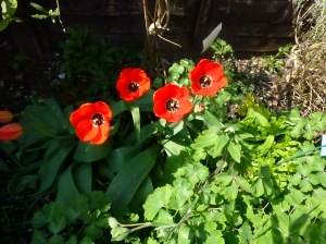 Tulips enjoying the April sunshine.