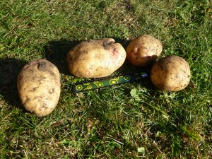 I got all these potatoes from 1 plant. The largest was 13cm long!