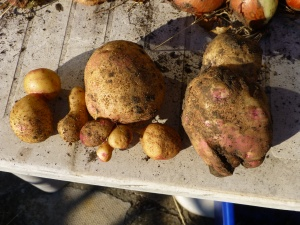 You know me and odd shaped vegetable...well here are some odd looking potatoes.