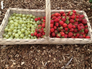 My Gooseberries and Strawberries from today.