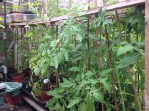 Some more tomatoes on one side of the greenhouse.