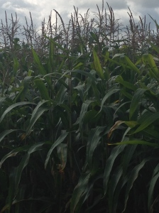 A whole field of Sweet Corn. It looked so beautiful.