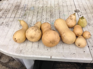 My Butternut Squash. Some a regular shape, and others...well I grew them so what do you expect.