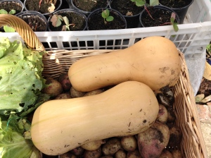 My first 2 Butternut Squash. Proper looking ones!