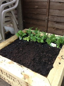 The salad bed is taking shape.