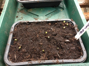 My Kohl Rabi popping though the soil. Grow my beauties.