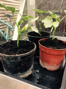 My Okra are growing well. You can see 1 flower on the plant on the left hand side.