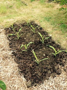 Only 8 Sweetcorn plants this year. Still it's better than nothing. Hopefully I'll get some good corn on the cob....don't forget the tooth picks.