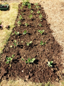 24 Brussels Sprout plants neatly in 3 rows!!
