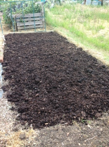 I think I'll put some brassica plants in this bed. Lots of manure to keep them happy.