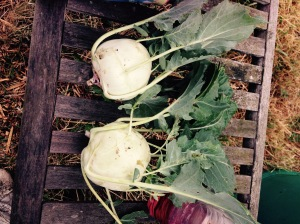 Two lovely Kohl Rabi. I think I'll roast ours tonight.