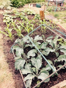 From front to back: Cauliflowers, Popcorn and Pumpkins.