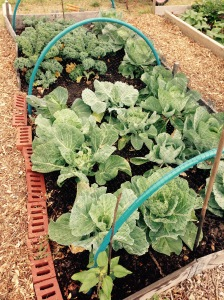 Cabbage and Kale. All growing really please. Mummy is very happy.