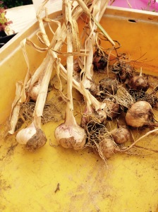 Some of my garlic to keep away the vampires.