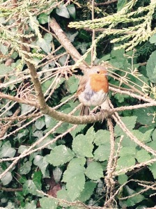 A very friendly Robin.