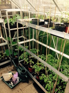 In the far corner are Aubergines, Sweet Peppers and Cucumbers. And then Tomatoes and Okra.