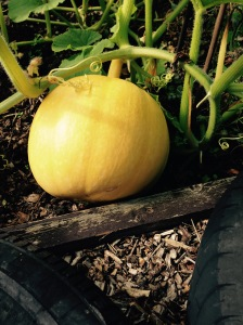 Pumpkins are growing well. This one is about the size of a football at the moment.