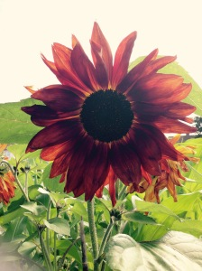 Red Sun Sunflowers, gorgeous and unusual.