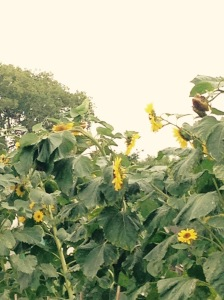 If you look carefully on the left hand side of the picture you'll see a green parakeet perched on top of one of the sunflowers.