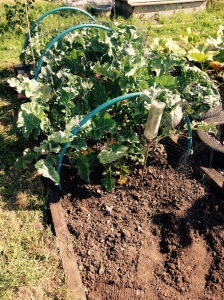 My Sprouting Broccoli is growing well. Keep netted otherwise the birds will get it.