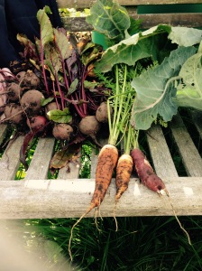 Some wonderful Beetroot and 3 Carrots. All are the proper shape, I must have done something wrong!