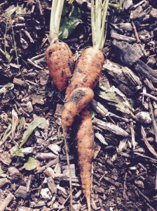A very romantic pair of Carrots. When I pulled these up I felt like s Gooseberry.