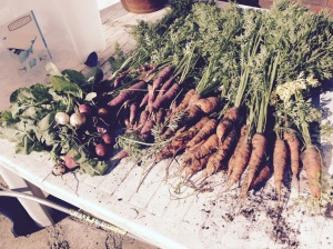 Todays harvest. Loads of Carrots an a few Radish on the side.