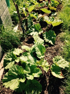 The last of the rhubarb pulled up from this bed. Just need to weed and manure and it's ready for winter.