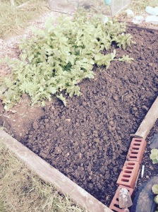 Just the Parsnips are left in this bed. Hope they don't get too lonely.