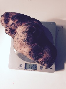 My heaviest ever potato. Variety Sarpo Mira.