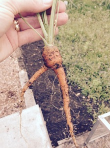 And out it popped, my 2 legged Carrots.