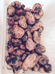 All these potatoes from just 3 plants. I've still got lots more to dig up though.