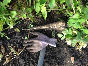 The first Parsnip of the year. And the only normal shaped one!