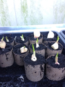 Some of my garlic has started to sprout.