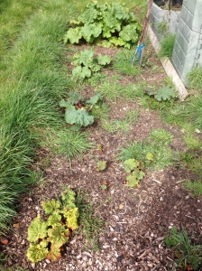 The Rhubarb is growing beautifully.
