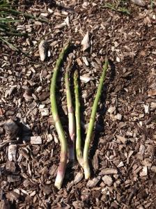 My very first Asparagus harvest!
