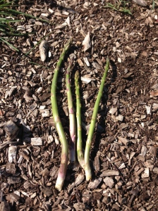 My very first Asparagus harvest!