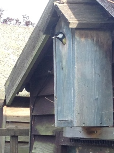 I think this is Daddy emerging from the nesting box. Babies need feeding all the time.