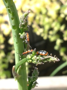 Asparagus beetles. Little buggers, I'll have to sort those out tomorrow.