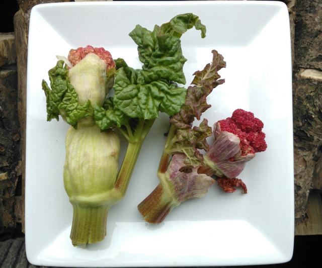 rhubarb flower stems