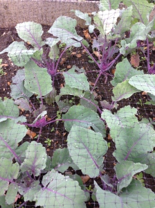 My Kohl Rabi are growing very well. All this rain has made them swell.
