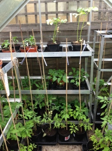 The back of the greenhouse. The peppers and chillies are doing well. But the okra need more sun!!