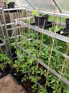 And the right hand side. The Cucamelons are growing well, just a few more plants to pot up.
