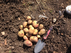 King Edward potatoes from one plant.