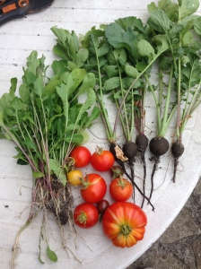 Rocket, Black Radish and a variety of Tomatoes! Yum!!