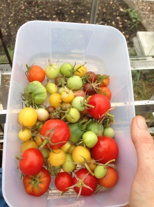 The last of this years tomatoes. They did very well this year.