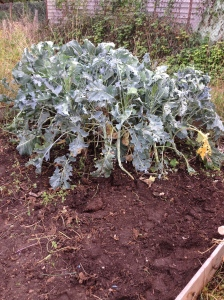 Lancer Mixed Sprouting Broccoli. I've got to wait until November to harvest the first of it.